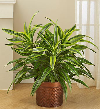 Dracaena Gold Star Floor Plant $ 104.99