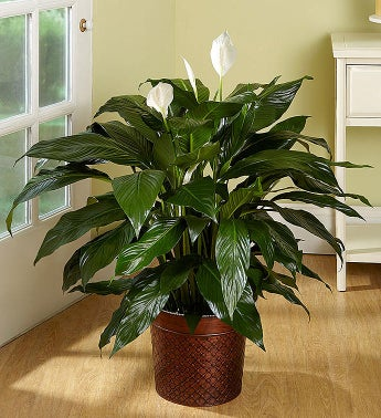 Spathiphyllum Floor Plant for Sympathy - 1-800-Flowers