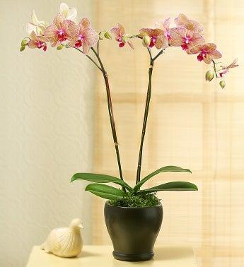 Kaleidoscope Phalaenopsis Orchid - 1-800-Flowers