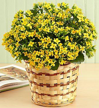 Kalanchoe Plant - 1-800-Flowers