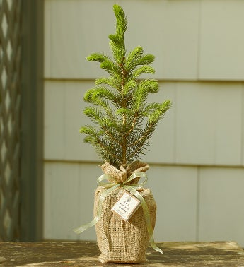 Colorado Blue Spruce Tree with Personalized Plaque