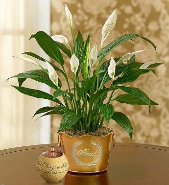 Shimmering Peace Plant - Shimmering Peace Plant with Comf...