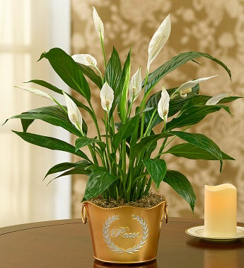 Shimmering Peace Plant - 1-800-Flowers