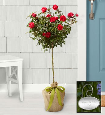 Hot Pink Knockout Rose Tree - Knockout Rose Tree with Per...