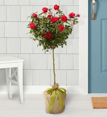 Hot Pink Knockout Rose Tree - Knockout Rose Tree - 1-800-...