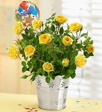Congratulations Rose Plant - 1-800-Flowers