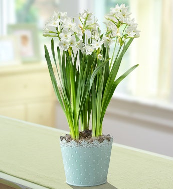 Bulb of the Month - 3 Month Plant Club ($ per delivery)