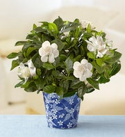 Graceful Gardenia for Sympathy
