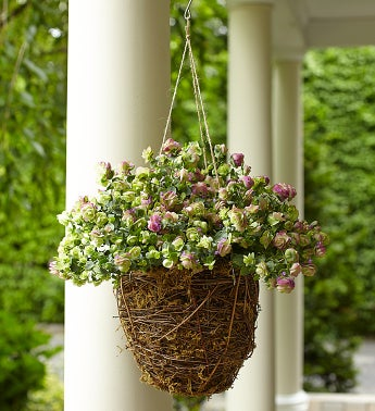 Oregano Hanging Basket