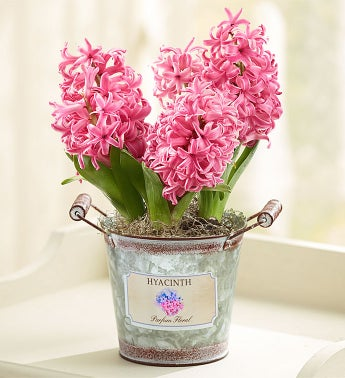 1-800-Flowers - Heavenly Hyacinth By 1800Flowers