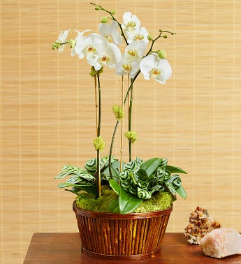 White Orchid Bamboo Garden for Sympathy - 1-800-Flowers