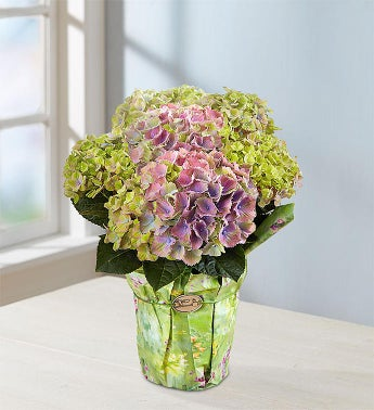 Spring Hydrangea - 1-800-Flowers