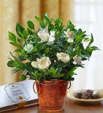 Autumn Elegance Gardenia