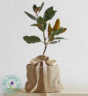 Magnolia Tree by Real Simple - Magnolia Tree by Real Simp...