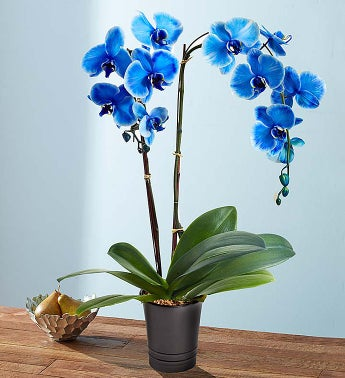 Beautiful Blue Phalaenopsis Orchid - Beautiful Blue Phala...