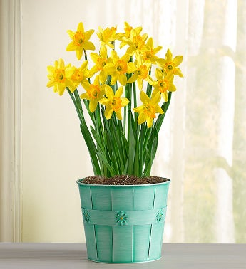 1-800-Flowers - Delightful Daffodil - Large By 1800Flowers
