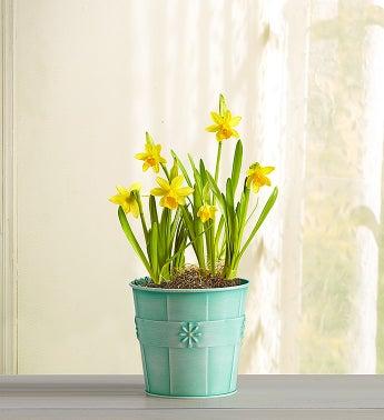 1-800-Flowers - Delightful Daffodil By 1800Flowers