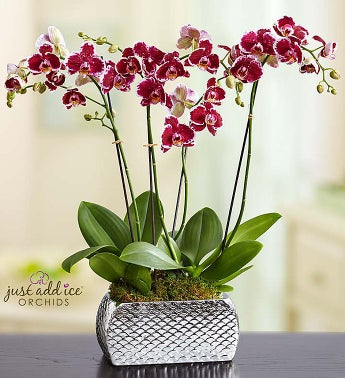 Violet Opulence Orchid - Large - 1-800-Flowers