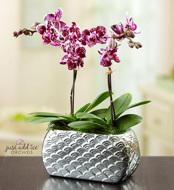 Violet Opulence Orchid - Small - 1-800-Flowers