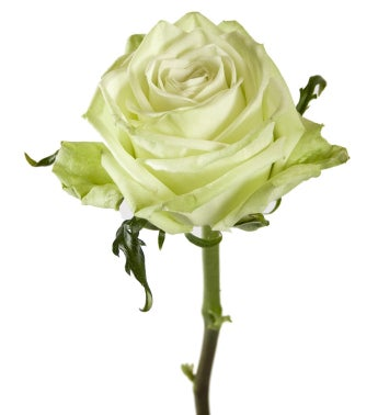 Green Fashion Roses- Special Order!