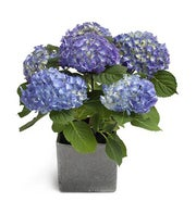 Heavenly Blue Hydrangea