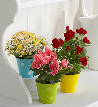 mini rose plant, azalea and kalanchoe in tin cups