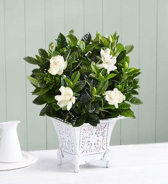 gardenia flower meaning  secret love  loverepair, Natural flower