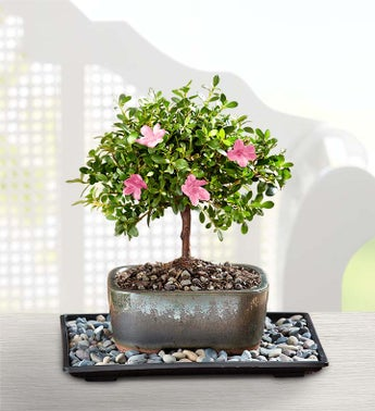1-800-Flowers.com Azalea Bonsai - Azalea Bonsai for Sympa...