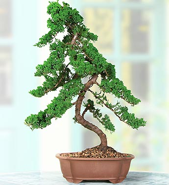 Upright Juniper 15 Year Specimen Bonsai