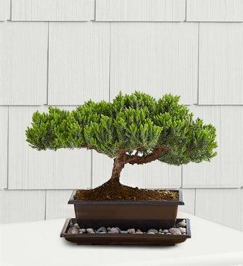 1-800-Flowers.com Plants - Green Mound Juniper Bonsai - S...