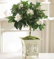 Gardenia Topiary