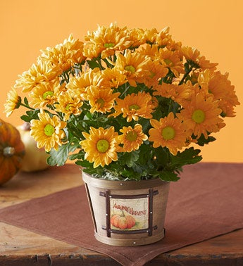 magnificent mum in autumn harvest planter