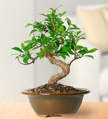 1-800-Flowers.com Golden Gate Ficus Bonsai - 1-800-Flowers