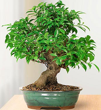 1-800-Flowers.com Golden Gate Ficus 10 Year Specimen Bons...