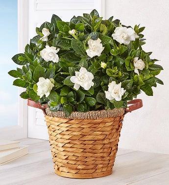 Blooming Gardenia Basket - Large - 1-800-Flowers