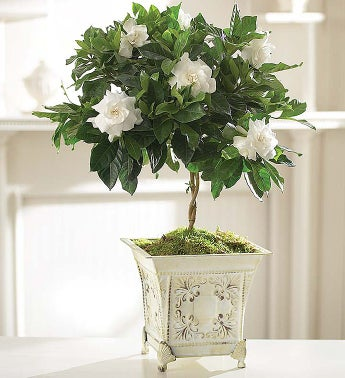 1-800-Flowers.com Plants - Gardenia Topiary for Sympathy ...