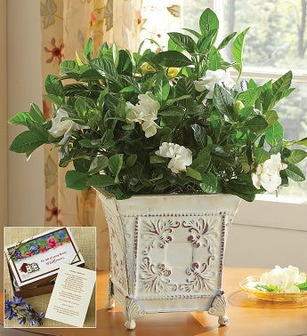 Grand Gardenia for Sympathy - Large with Seeds - 1-800-Fl...