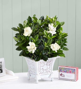 Grand Gardenia for Sympathy - Small with Seeds - 1-800-Fl...