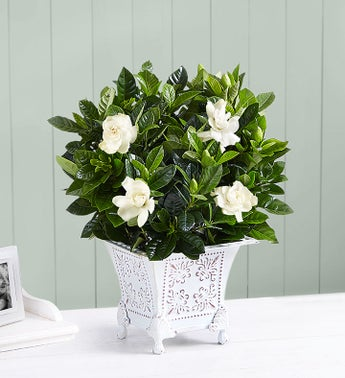 Grand Gardenia for Sympathy - Small - 1-800-Flowers
