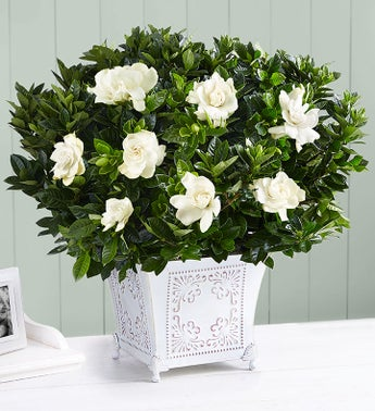 1-800-Flowers.com Grand Gardenia for Sympathy - Large - 1...