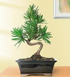 Podocarpus Ficus Bonsai