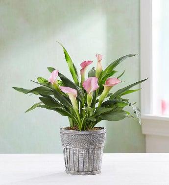 """Elegant Calla Lily - Elegant Calla Lily - 4"""" Pink - 1-800..."""