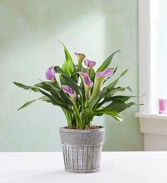 """Elegant Calla Lily - Elegant Calla Lily - 4"""" Purple - 1-8..."""