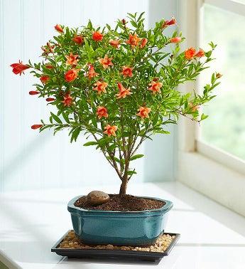 Pomegranate Bonsai - 1-800-Flowers