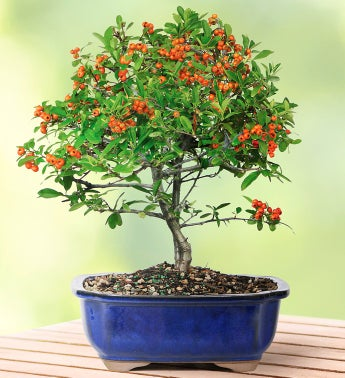 Dwarf Pyracantha Bonsai - Large - 1-800-Flowers