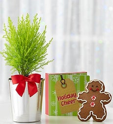 Lemon Cypress Tree - Single with Gingerbread Man Cookie