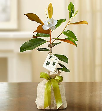 Sympathy Gifts by 1800Flowers.com - Magnolia Tree for Sym...
