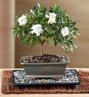 Comforting Gardenia Bonsai
