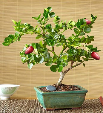 Plum Bonsai - Fragrant Plum Bonsai - 1-800-Flowers