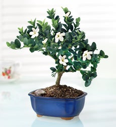 April's Bonsai - Plum